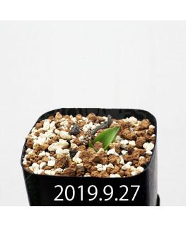 マッソニア ジャスミニフローラ IB11536/JIL085 実生 12306