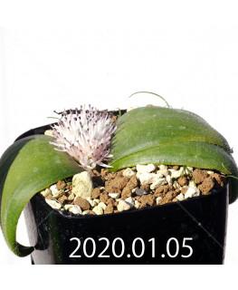 マッソニア ジャスミニフローラ IB11536/JIL085 実生 12313