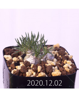 Ornithogalum sp. オーニソガラム 未識別種 EQ615  12518