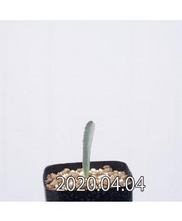アルブカ ディルキュラ 実生 12562