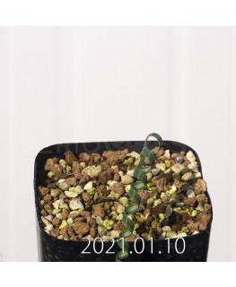 Moraea pritzeliana モラエア プリツェリアーナ EQ879  12566