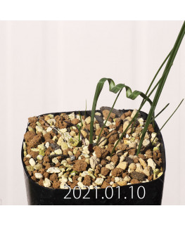 Moraea pritzeliana モラエア プリツェリアーナ EQ879  12568