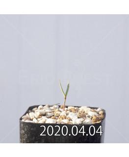 セロペギア コンラティ ES12990 実生 12642