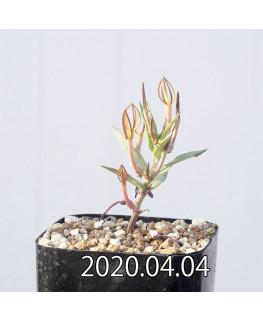 セロペギア コンラティ ES12990 実生 12648