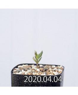 セロペギア コンラティ ES12990 実生 12653