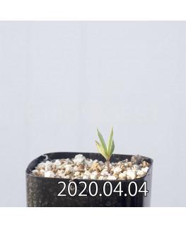 セロペギア コンラティ ES12990 実生 12656
