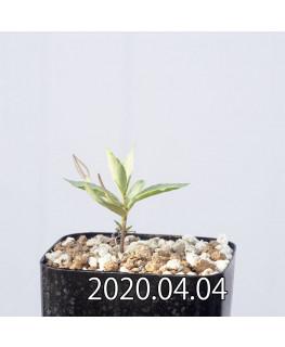 セロペギア コンラティ ES12990 実生 12661