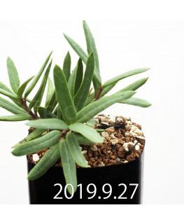 セロペギア コンラティ ES12990 実生 12665