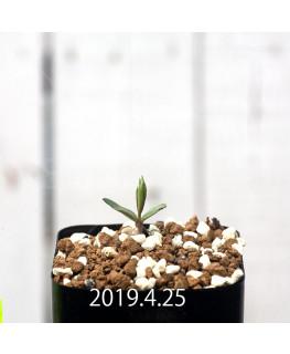 セロペギア コンラティ ES12990 実生 12666