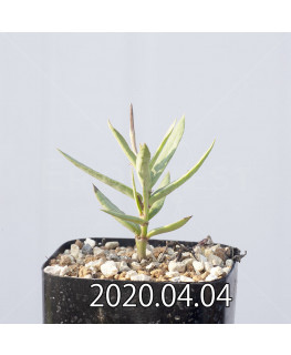 セロペギア コンラティ ES12990 実生 12668