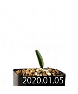エリオスペルマム ランケイフォリウム EQ722 実生 12718