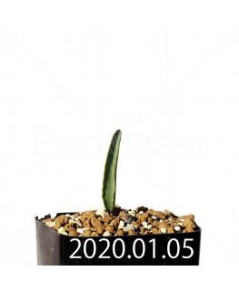 エリオスペルマム ランケイフォリウム EQ722 実生 12719