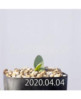 エリオスペルマム ランケイフォリウム EQ722 実生 12722