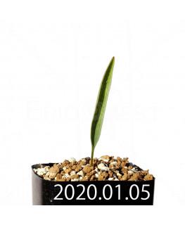 エリオスペルマム ランケイフォリウム EQ722 実生 12723