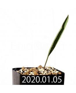 エリオスペルマム ランケイフォリウム EQ722 実生 12727