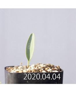 エリオスペルマム ランケイフォリウム EQ722 実生 12729