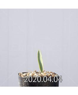 エリオスペルマム ランケイフォリウム EQ722 実生 12734