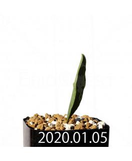 エリオスペルマム ランケイフォリウム EQ722 実生 12735