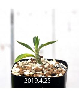 パキポディウム サキュレンタム EQ725 実生 12814