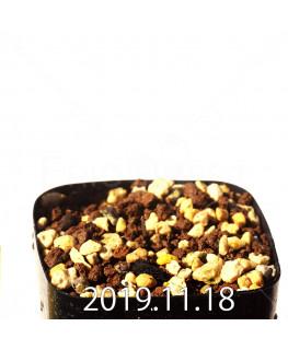 ラケナリア ヒルタ EQ728 実生 12911