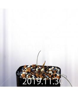 ストルマリア スピラリス EQ730 実生 12951