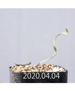 キルタンサス スミシアエ EQ731 子株 13021