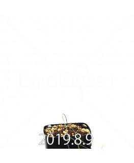 エリオスペルマム ポルフィロウァルウェ EQ732 実生 13049