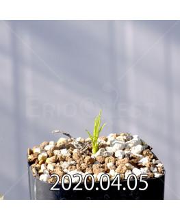 Ipomoea sp. イポメア 不明種 新種  13053