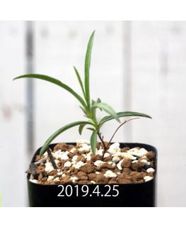 ケドロスティス sp. EQ546 実生 13184