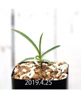 ケドロスティス sp. EQ546 実生 13210