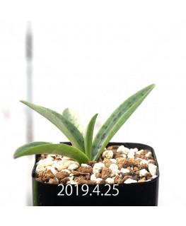レデボウリア sp. aff. saundersonii 実生 13342