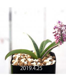 レデボウリア sp. aff. saundersonii 実生 13346