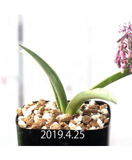 レデボウリア sp. aff. saundersonii 実生 13348