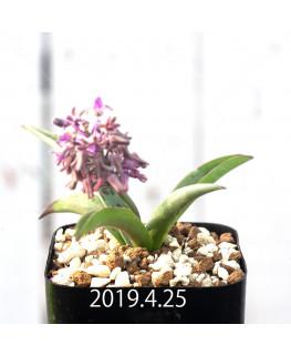 レデボウリア sp. aff. saundersonii 実生 13350