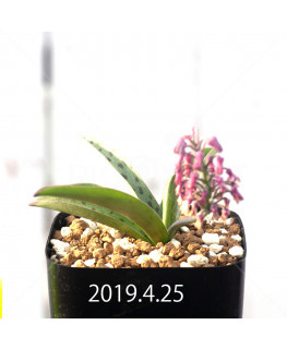 レデボウリア sp. aff. saundersonii 実生 13357