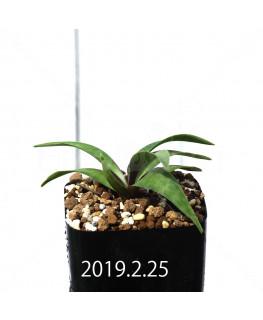レデボウリア コリアセア DMC9654 子株 13425