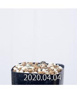 Eriospermum porphyrovalve エリオスペルマム ポルフィロウァルウェ EQ732  13469