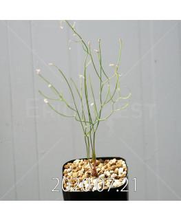 Eriospermum porphyrovalve エリオスペルマム ポルフィロウァルウェ EQ732  13473