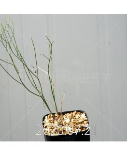 Eriospermum porphyrovalve エリオスペルマム ポルフィロウァルウェ EQ732  13475