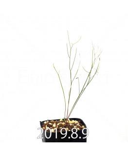 エリオスペルマム ポルフィロウァルウェ EQ732 実生 13483