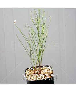 Eriospermum porphyrovalve エリオスペルマム ポルフィロウァルウェ EQ732  13483