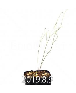 エリオスペルマム ポルフィロウァルウェ EQ732 実生 13487