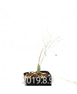 エリオスペルマム ポルフィロウァルウェ EQ732 実生 13490