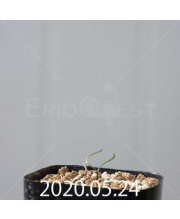 キルタンサス ヘリクタス EQ741 実生 13559