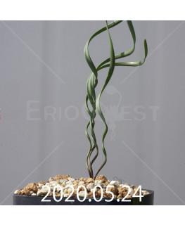 キルタンサス ヘリクタス EQ741 実生 13596