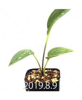 ドリミオプシス アトロプルプレア EQ756 実生 13846