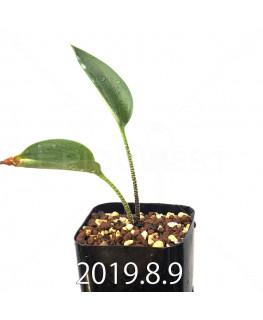 ドリミオプシス アトロプルプレア EQ756 実生 13854