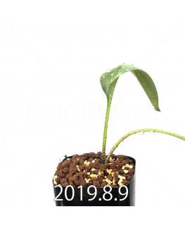 ドリミオプシス アトロプルプレア EQ756 実生 13861