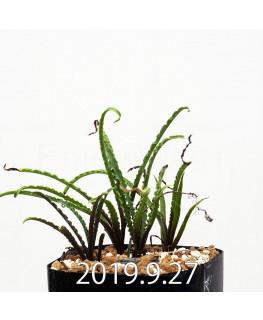 レデボウリア クリスパ 小型 子株 13879
