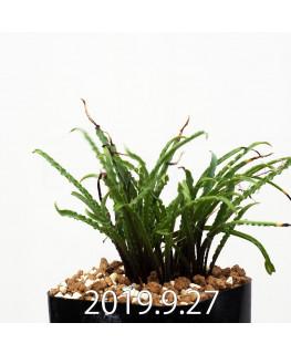 レデボウリア クリスパ 小型 子株 13880